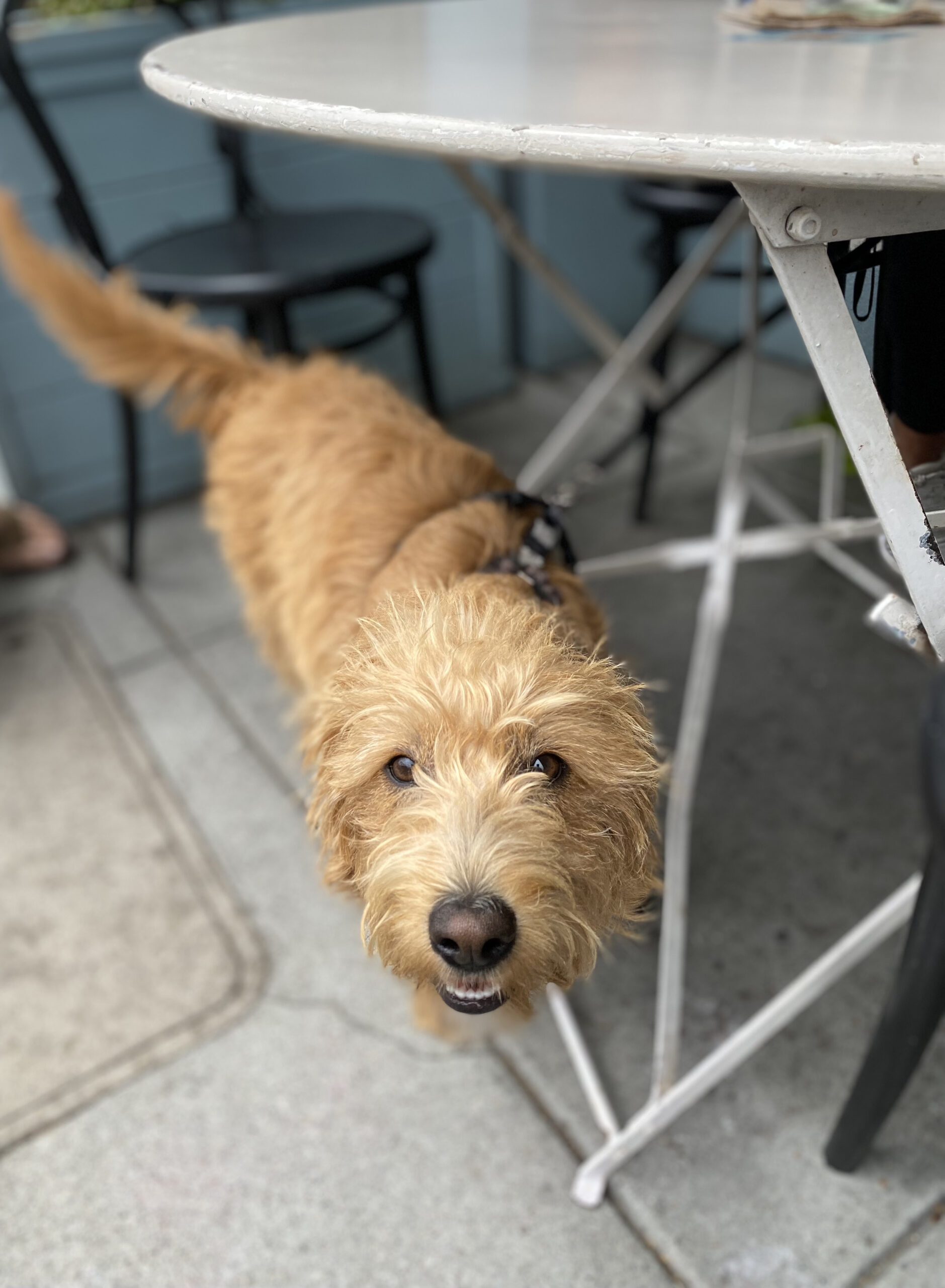 Scruffy Golden Retriever Mix Puppy