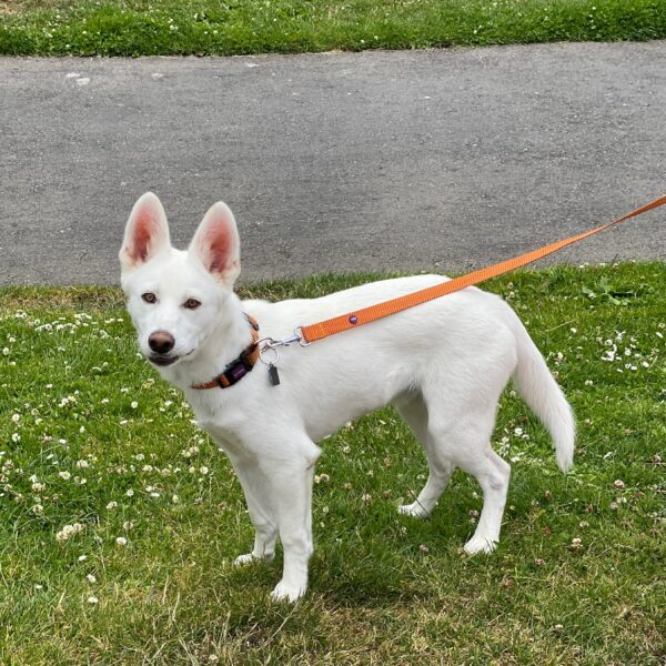 White Siberian Husky German Shepherd Puppy With Humongous Ears
