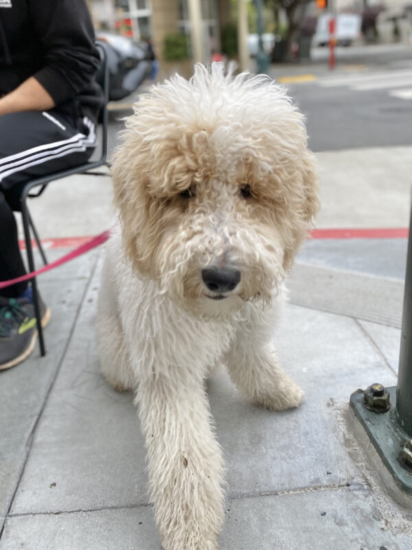 White Bernadoodle With Fluffy Hair