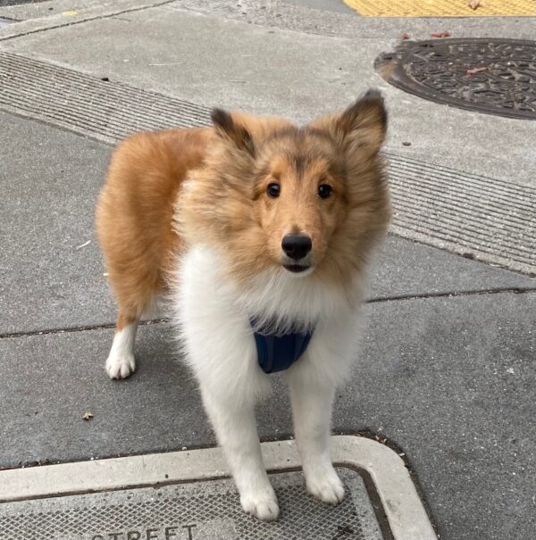 Sheltie Puppy Looking Cute And Fluffy