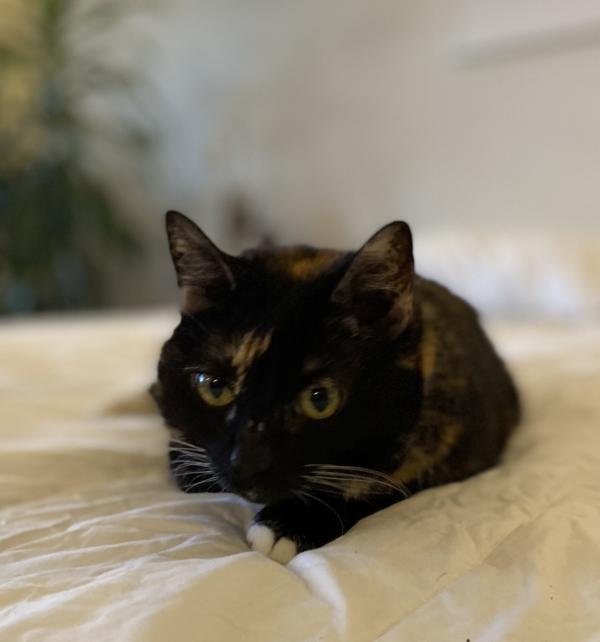 Tortoiseshell Cat Lying On A Bed