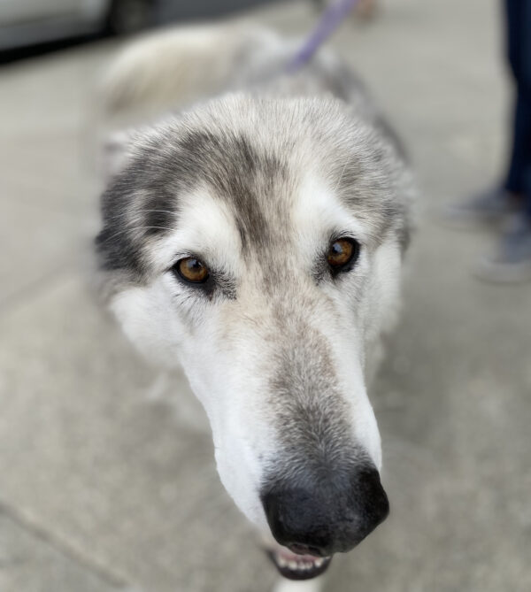 Fluffy Grey And White Alaskan Malamute Mix Sticking Her Nose Into The Camera