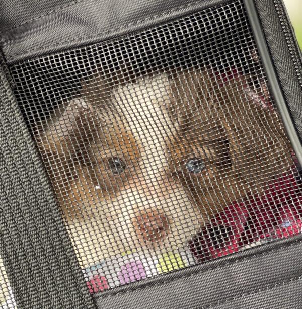 Miniature Australian Shepherd Puppy In A Dog Carrier