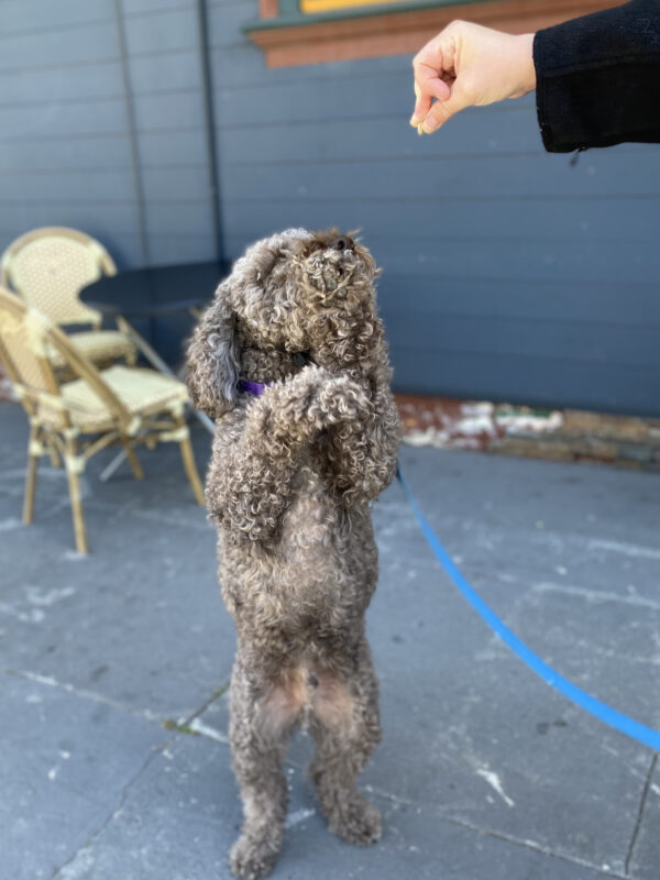 Lagotto Romagnolo Standing On His Hind Legs