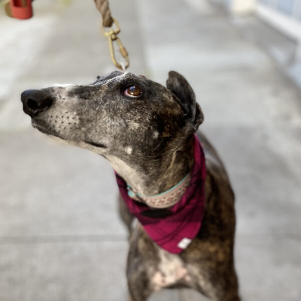 Galgo Español Dog With One Ear Flopped Over On Top Of Her Head