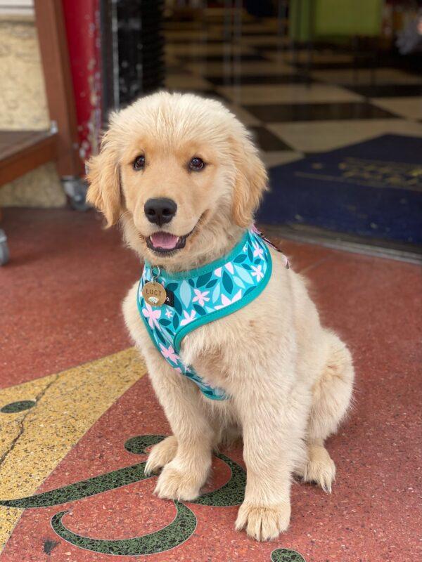 Fluffy Golden Retriever Puppy