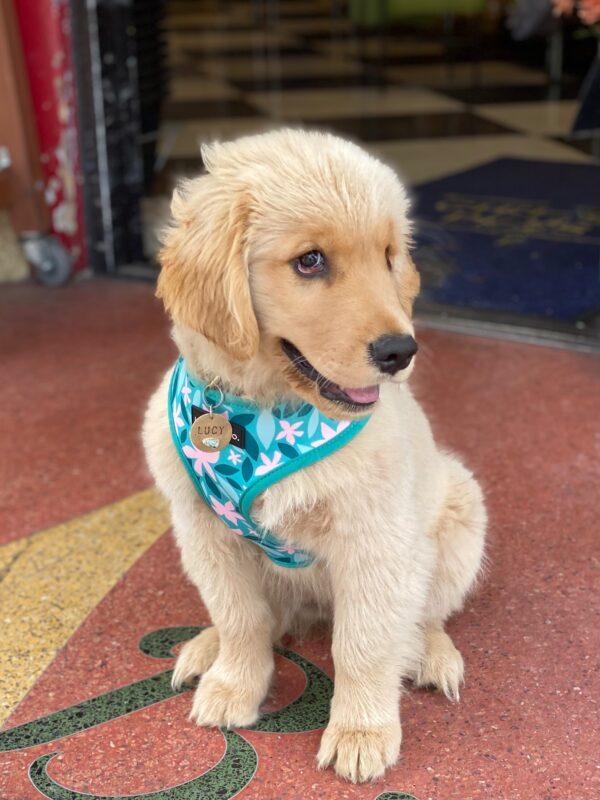 Fluffy Golden Retriever Puppy Looking Coy