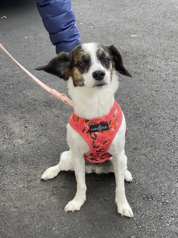 Beagle Spaniel Mix In A Cute Pink Vest