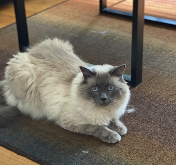Fluffy Grey And White Cat With Blue Eyes