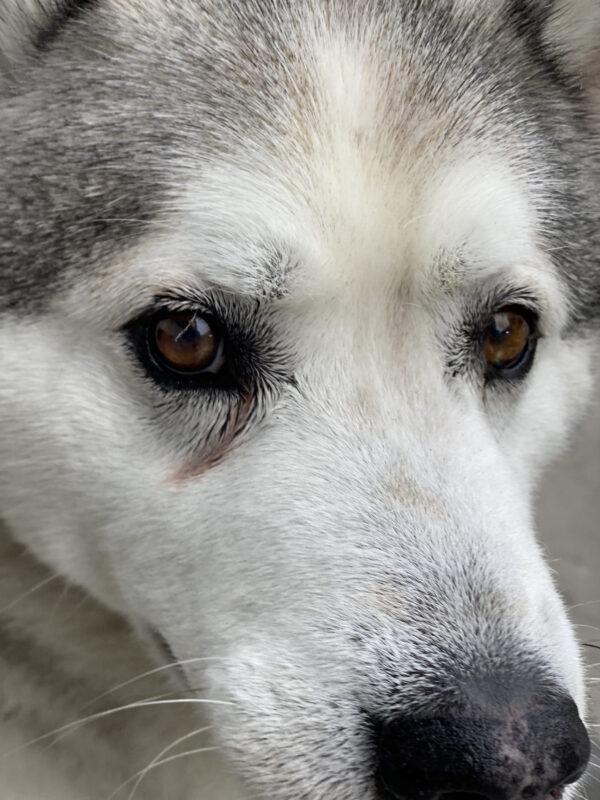 Closeup Of Siberian Husky Face