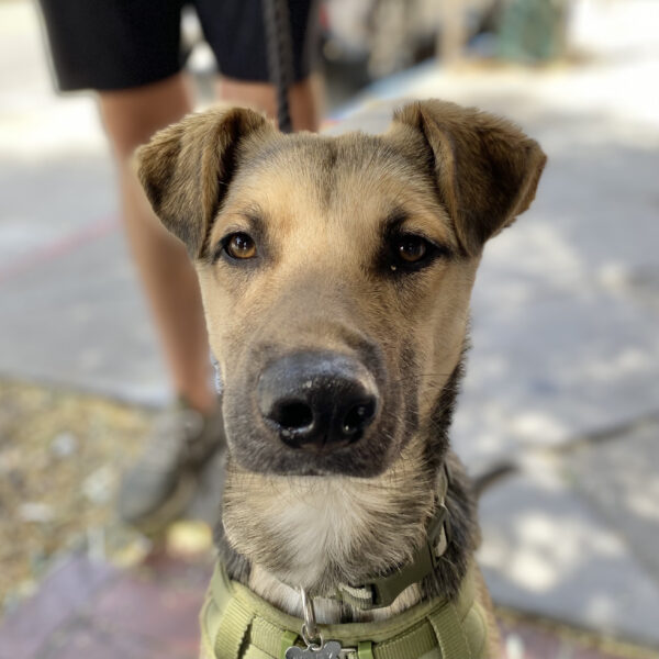 German Shepherd Mix Dog With Perfect Folded-Down Ears