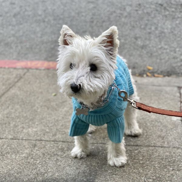 West Highland White Terrier In An Aqua Sweater
