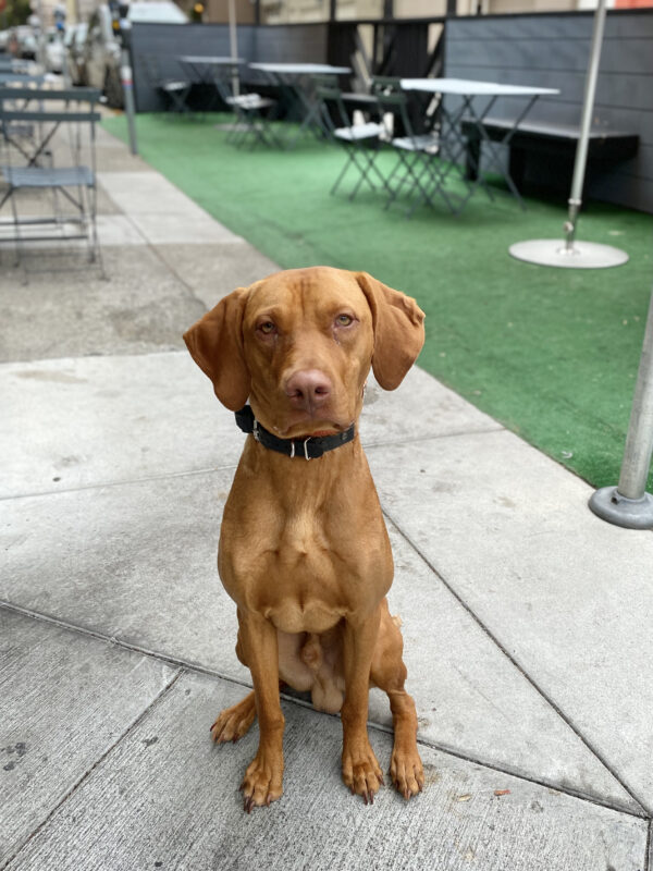 Eight Month Old Vizsla Looking Very Serious
