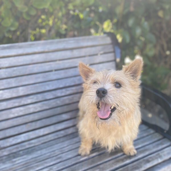 Happy Norwich Terrier On A Bench
