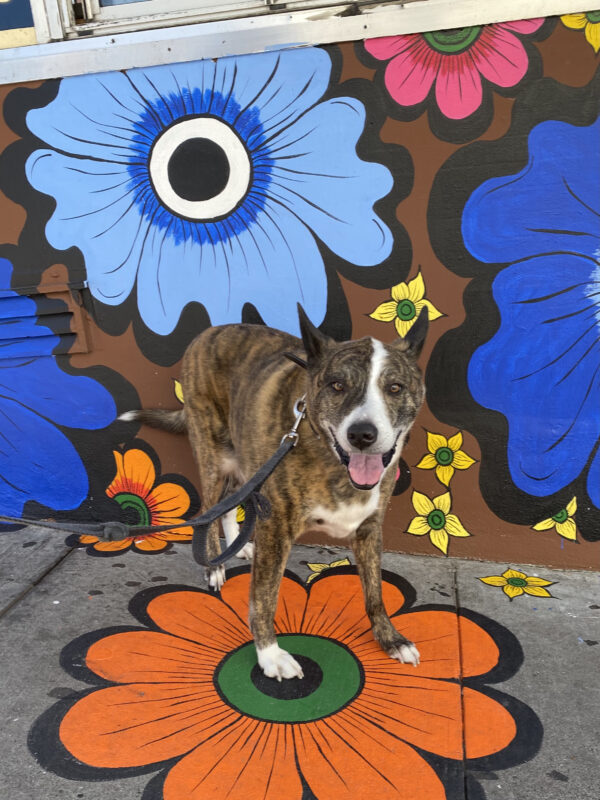 Pit Mix Standing In Front Of Flower Mural And Grinning