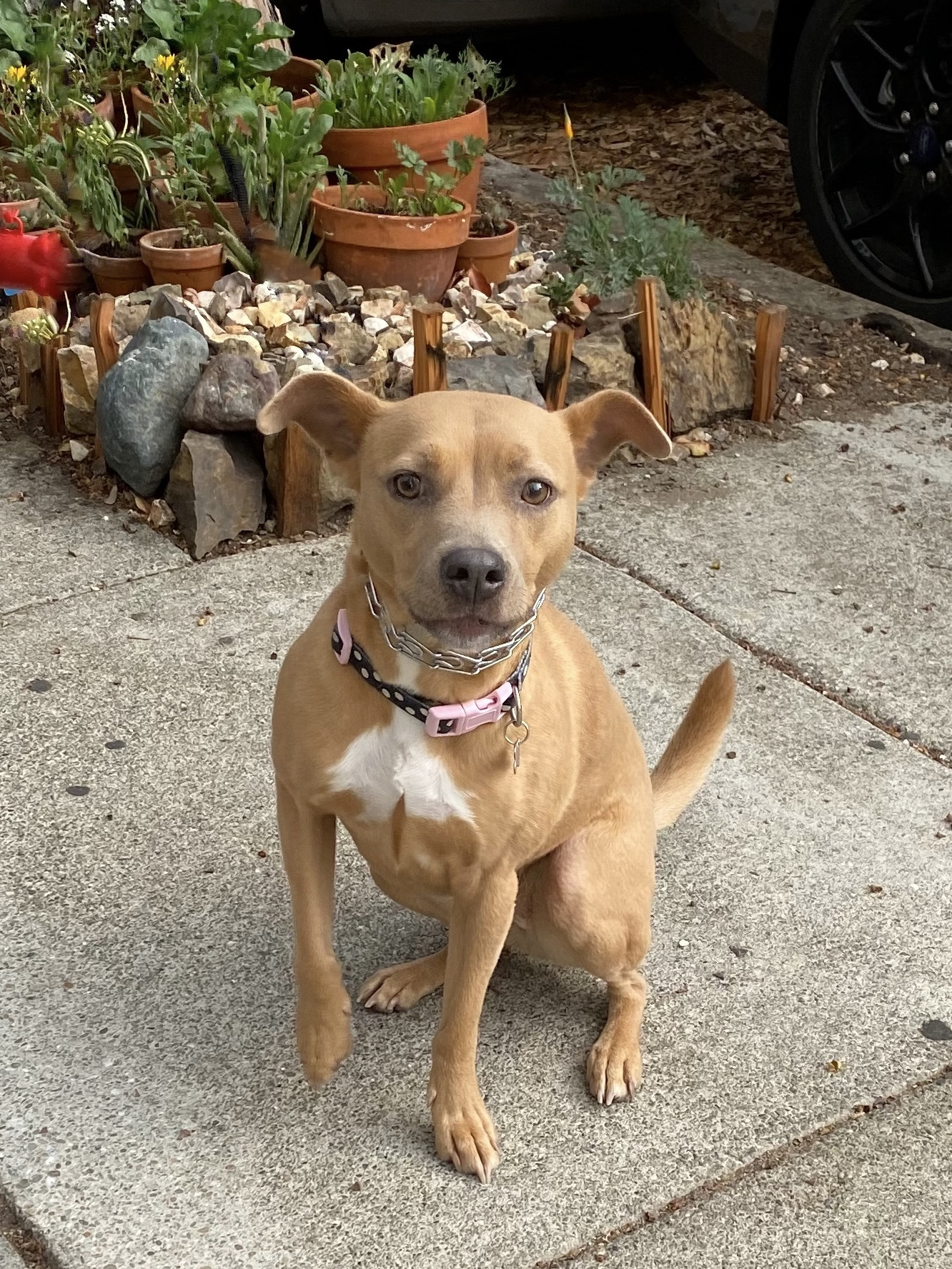 Tan American Pit Bull Terrier Mix With Ridiculous Ears