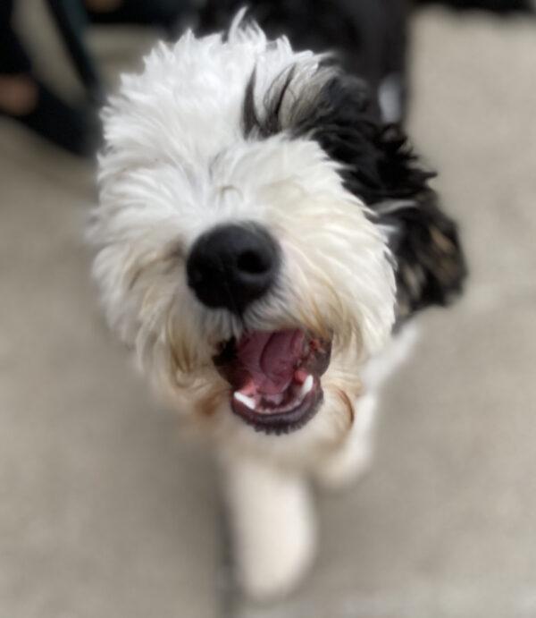Fluffy Bernadoodle Puppy Grinning