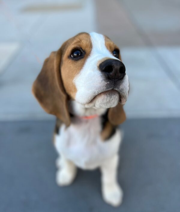 Beagle Puppy With The World's Most Puppydog Eyes Expression
