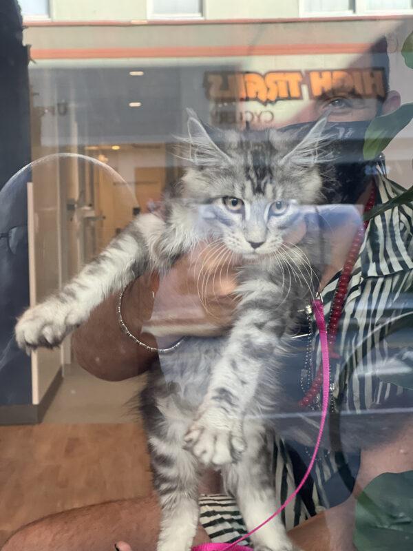 Grey Tiger Tabby Kitten Being Held Up In A Window