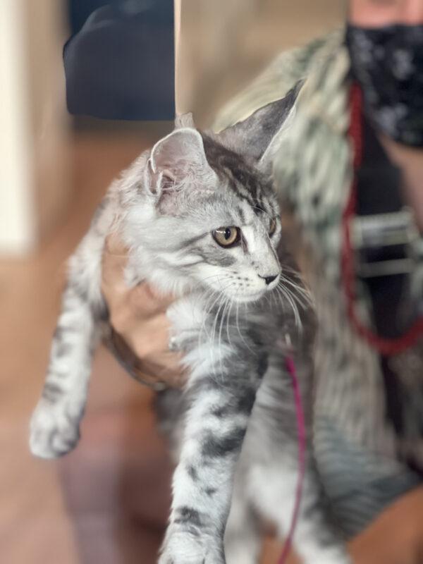 Adorable Grey Tiger Tabby Kitten