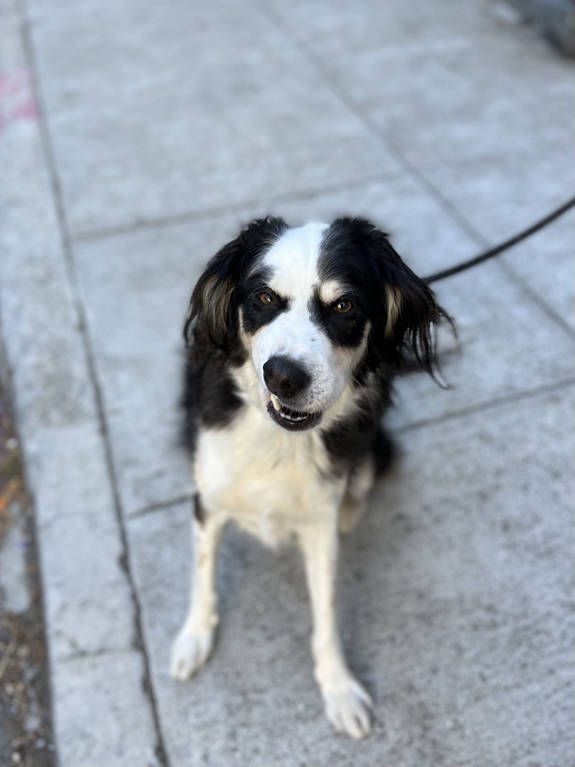 Border Collie Mix Looking Very Sarcastic