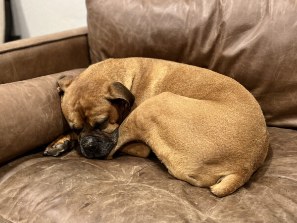 Brown Boxer Snoozing On Brown Leather Sofa