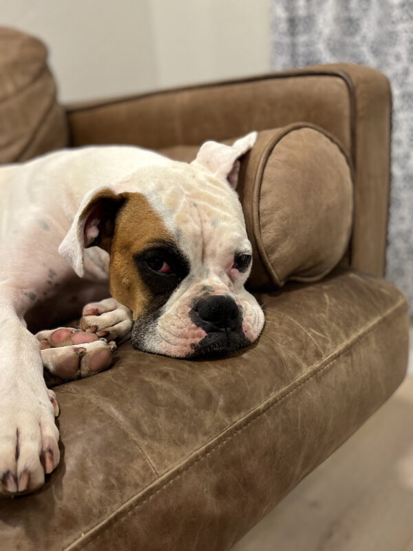 Sad-Looking Boxer On A Sofa