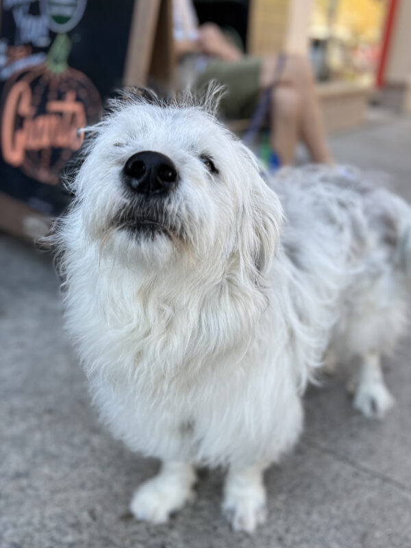 Scruffy Great Pyrenees Poodle Mix
