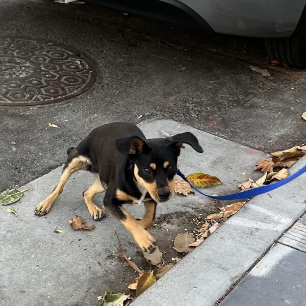 Six Month Old Miniature Doberman Pinscher Mix Puppy